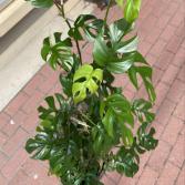 Rhaphidophora Tetrasperma 'Mini Monstera' Climbing