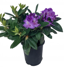 Rhododendron Flowering Plant
