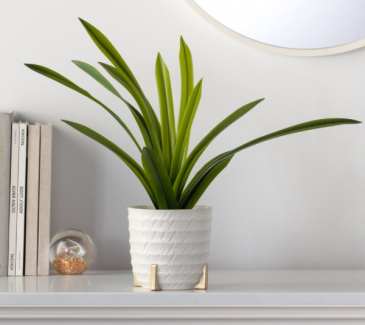 Rido Ripple   Potted plant
