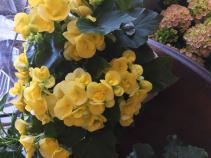 Rieger Begonia Flowering Plant
