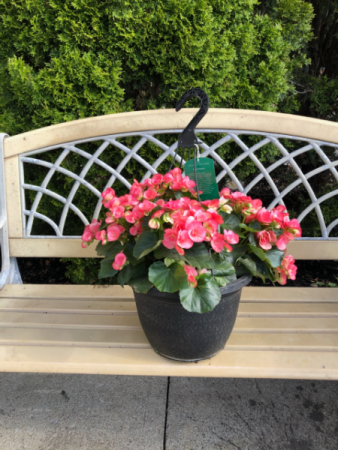 Rieger Begonia Hanging Basket Outdoor Hanging Basket