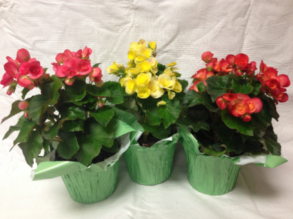 Rieger Begonia Mother's Day