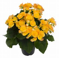 Rieger Begonia Plant