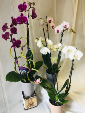 River of Orchids Blooming Plant