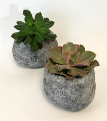 Rock Solid Succulent Plants