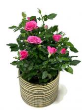Rose Bush  Flowering Plant