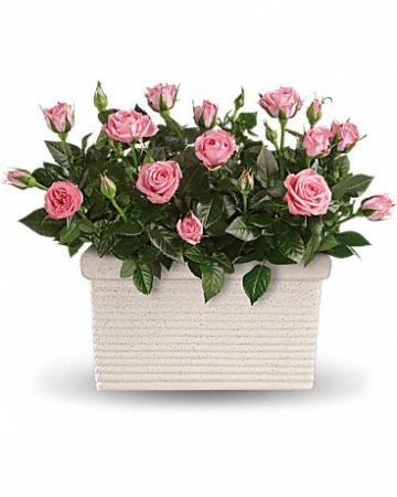 Rose Repose Plant Flower