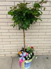 Rose Tree blooming