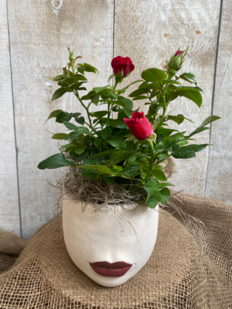 Rosey Lady Lips plant in pot