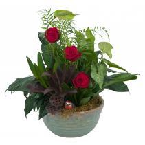 Rosy Dish Garden Plant