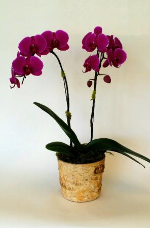 Royal Blooms Purple Orchid plant