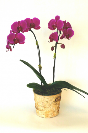 Royal Blooms Single and double potted purple orchid plants
