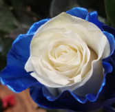 ROYAL BLUE WITH WHITE INSIDE ROSE 1 DOZEN