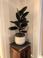 Rubber Ficus plant  Plants