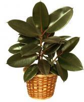 Rubber Plant 8''