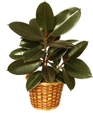 RUBBER PLANT BASKET  Ficus elastica  in North Platte, NE | The Flower Market