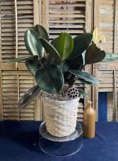 Rubber Plant Foliage Plants
