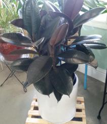 rubber plant in ceramic pot live plant
