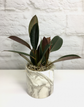 Rubber Plant in Marbled Ceramic  Desktop Plant