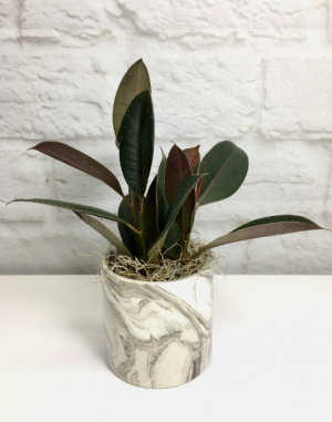 Rubber Plant in Marbled Ceramic  Desktop Plant in South Milwaukee, WI | PARKWAY FLORAL INC.