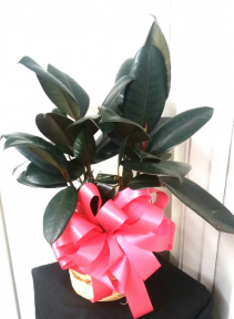 Rubber Tree Plant  Green plant