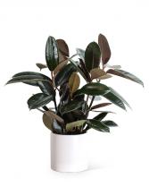 Rubber Tree Plant Plant