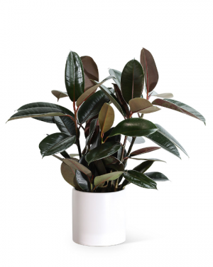 Rubber Tree Plant Plant in Nevada, IA | Flower Bed