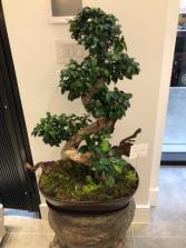 S style Ficus Ginseng Bonsai Tree