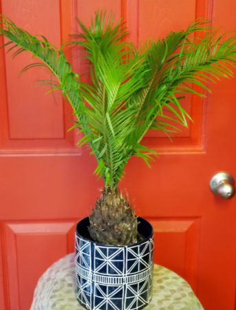 "Sago Palm in 6.5"" ceramic pot"