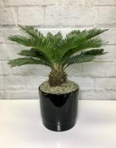 Sago Palm  in Black Pottery