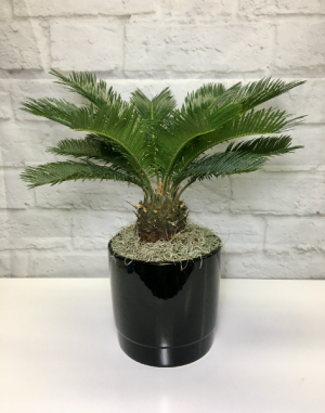 Sago Palm  in Black Pottery  in South Milwaukee, WI | PARKWAY FLORAL INC.