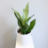 Sansevieria Moonshine 'Snake Plant' *Local Delivery Only*
