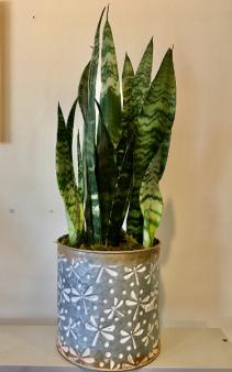 Sansevieria Plant plant