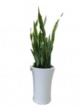 SANSEVIERIA-TALL CERAMIC POT