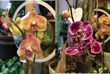 Phalaenopsis Orchid without Pot Easy Grow Orchid for the Home
