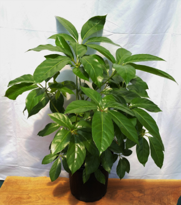Schefflera Amate House Plant