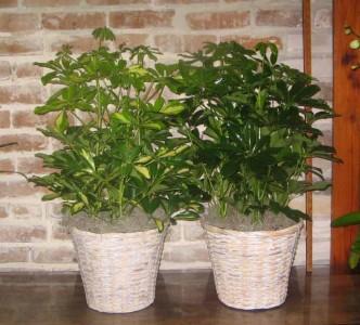 Schefflera Arbocola Foliage Plants
