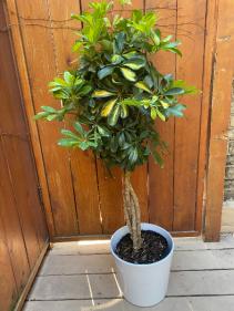 "Schefflera Arboricola Capella Braided 10"" Diameter Plant in Pot"