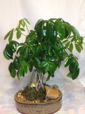 Schefflera Bonsai Green plant