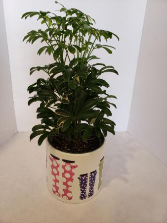 Schefflera in ceramic pot Plant