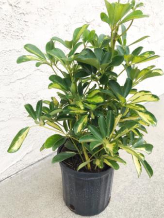 """10"""" Schefflera Plant"""