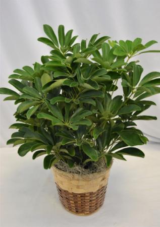 SCHEFFLERA PLANT - ARBORICOLA GREEN PLANT