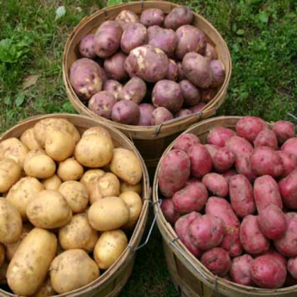 Seed Potatoes Greenhouse