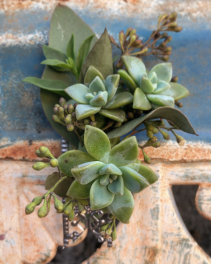 Seeded Succulent Boutonniere