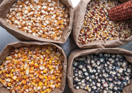 Seeds- CORN Greenhouse