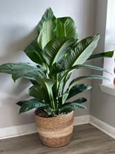 Sensational Peace Lily Plant