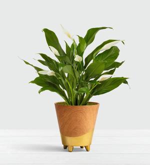 Serene Peace Plant .WGP409-N