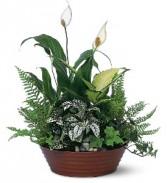 White Garden     T100-3 Plants