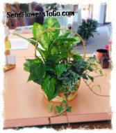 Serenity Basket Garden Live Plants