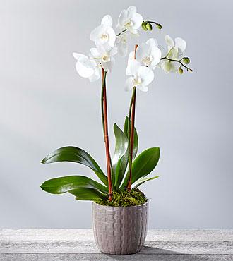 Serenity Phalaenopsis Orchid Plant